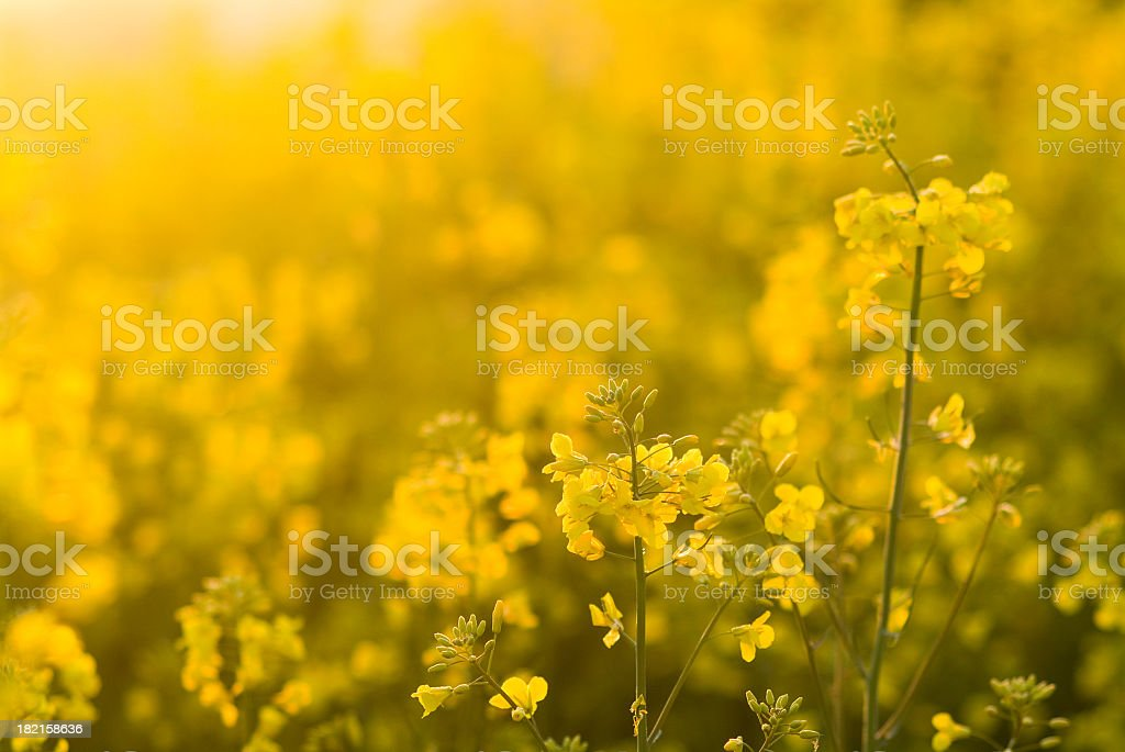 blooming colza stock photo