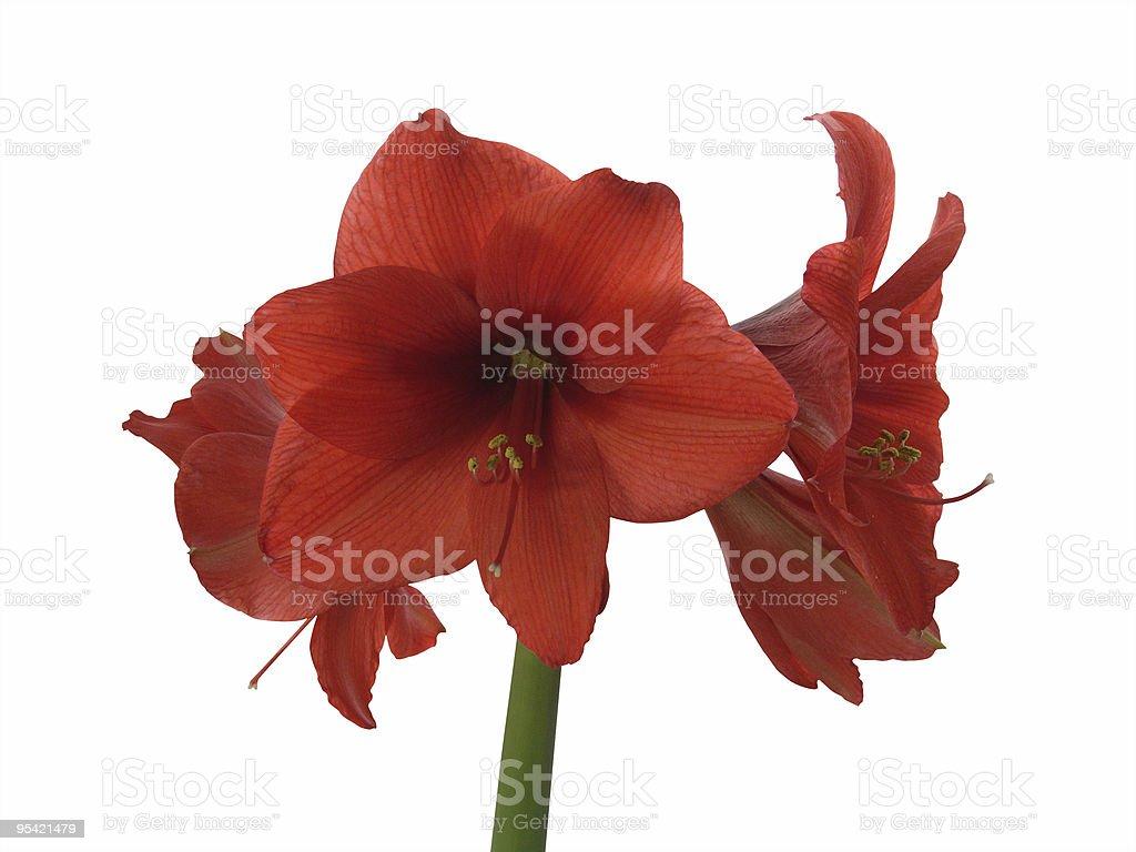 blooming red amaryllis royalty-free stock photo