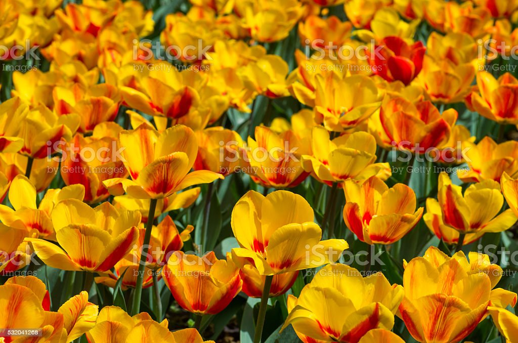Blooming red and yellow tulips stock photo