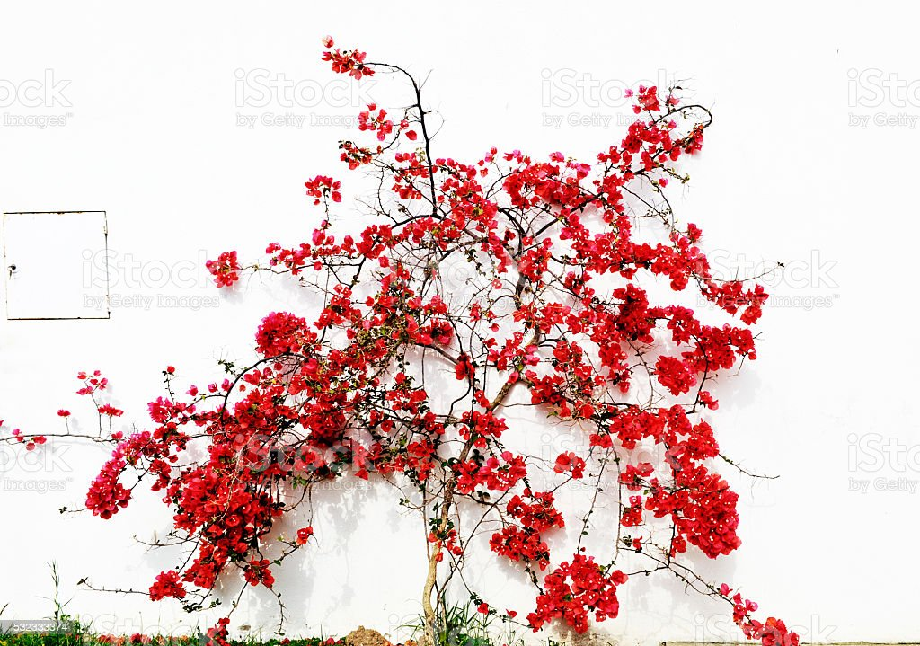Blooming red Bougainvillea against a white wall stock photo