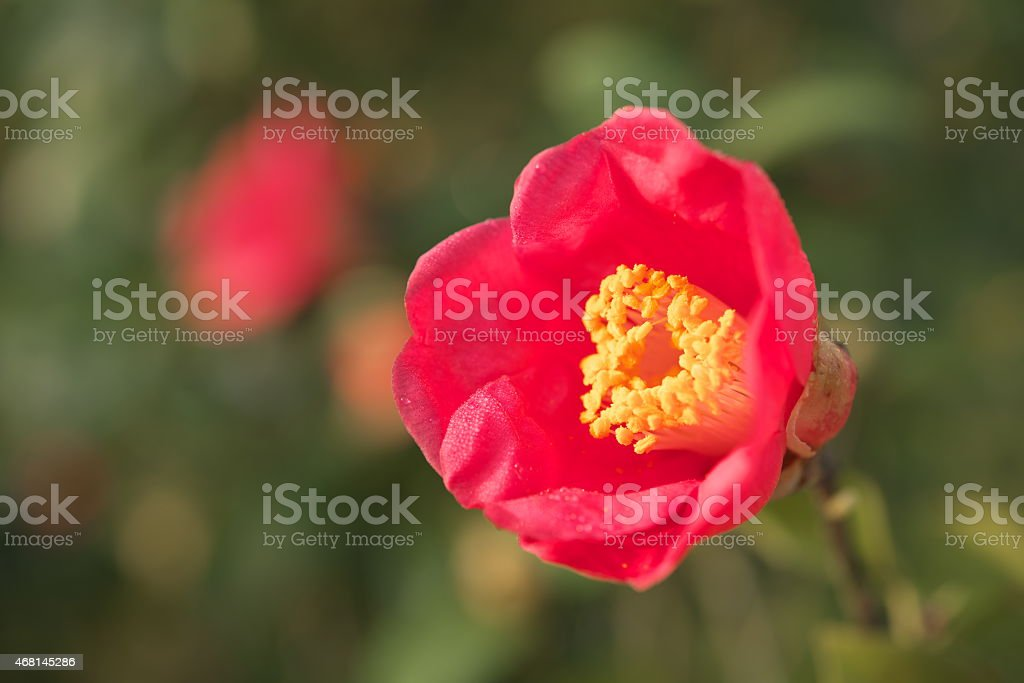 Blooming red camellia flower stock photo