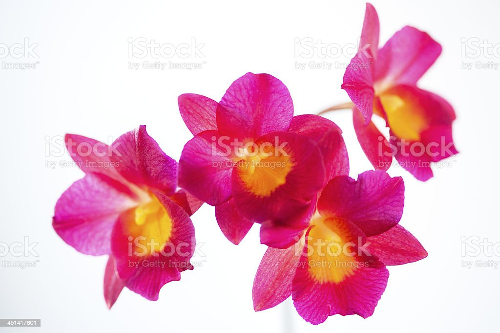 Blooming Red Cattleya Orchids stock photo