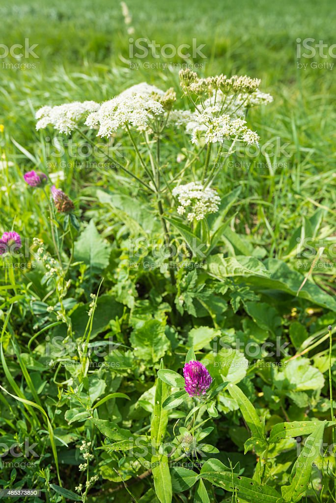 Blooming red clover plant from close stock photo