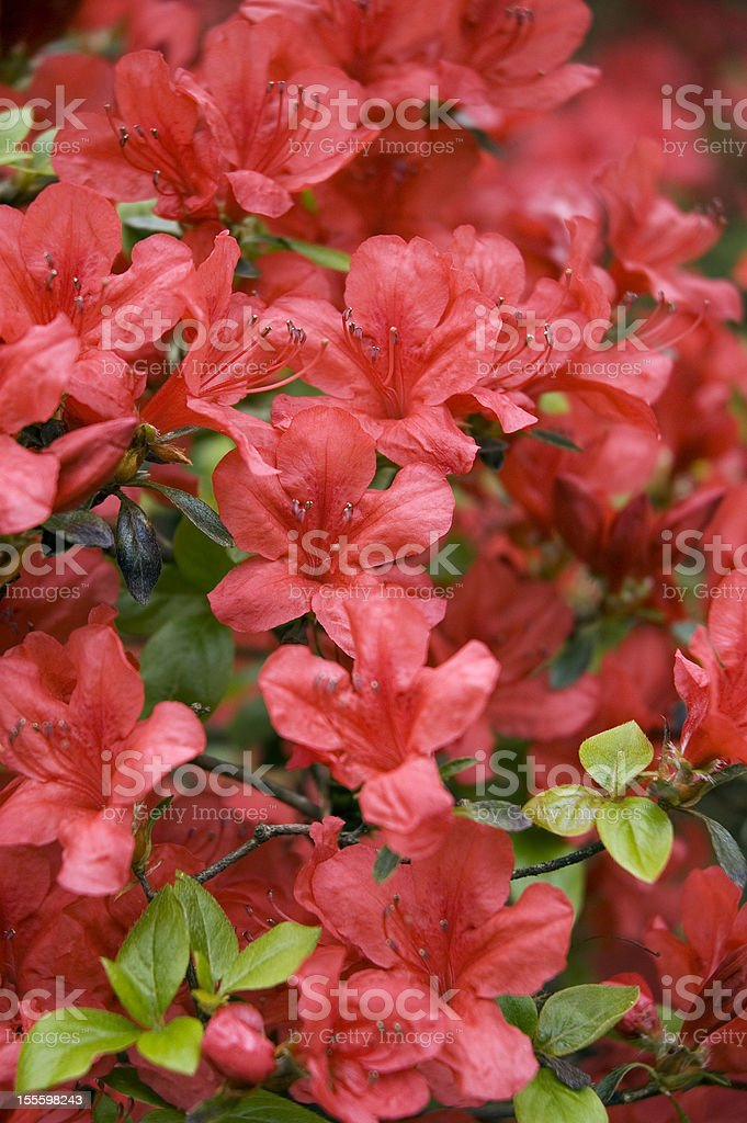 Blooming Red Japanese Azalea. royalty-free stock photo