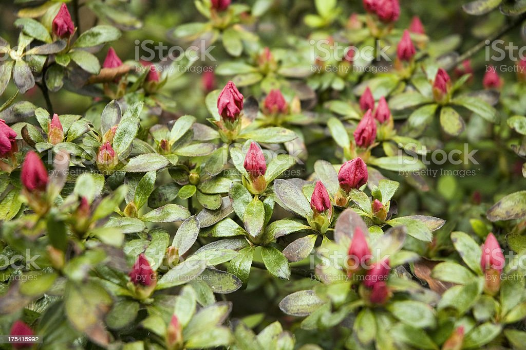 Blooming Red Japanese Azalea. royalty-free stock photo