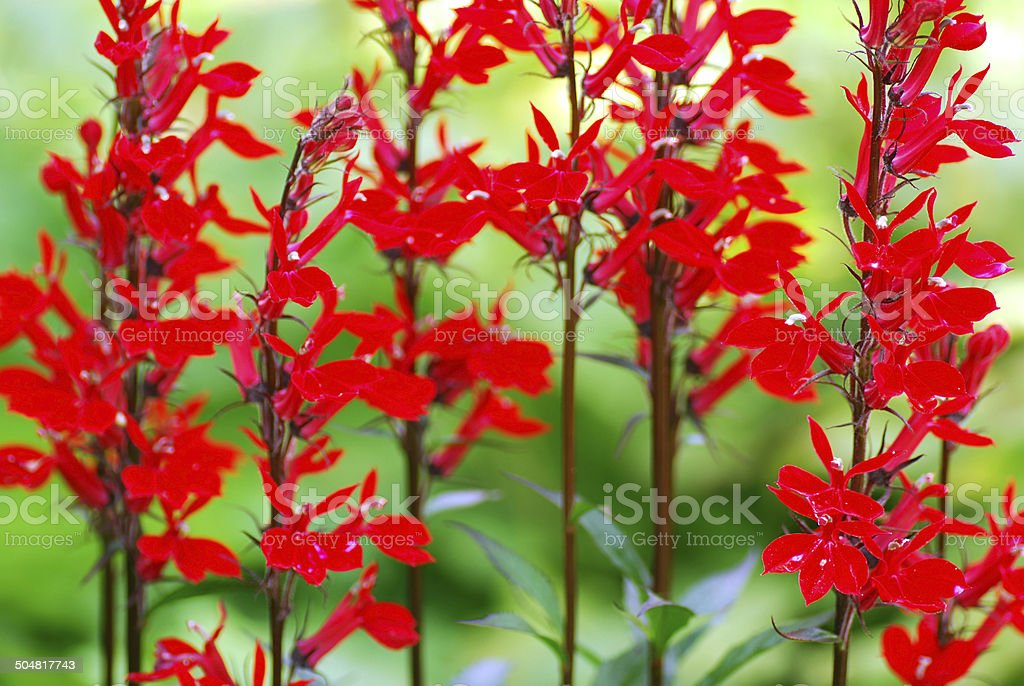 Blooming red Lobelia fulgens royalty-free stock photo