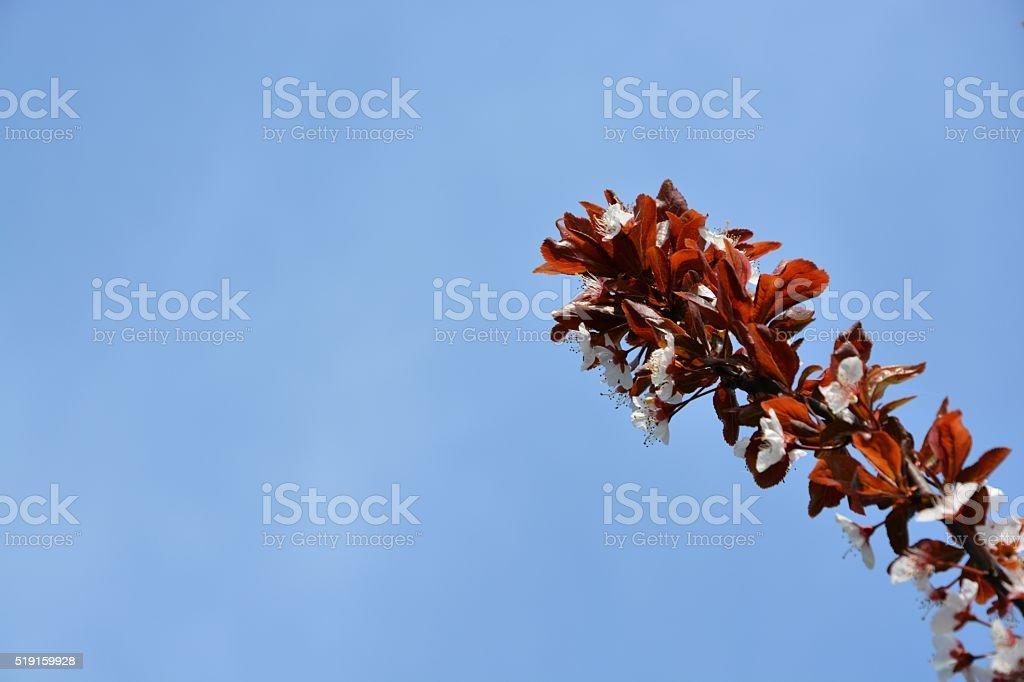 Blooming Red Plum Tree stock photo