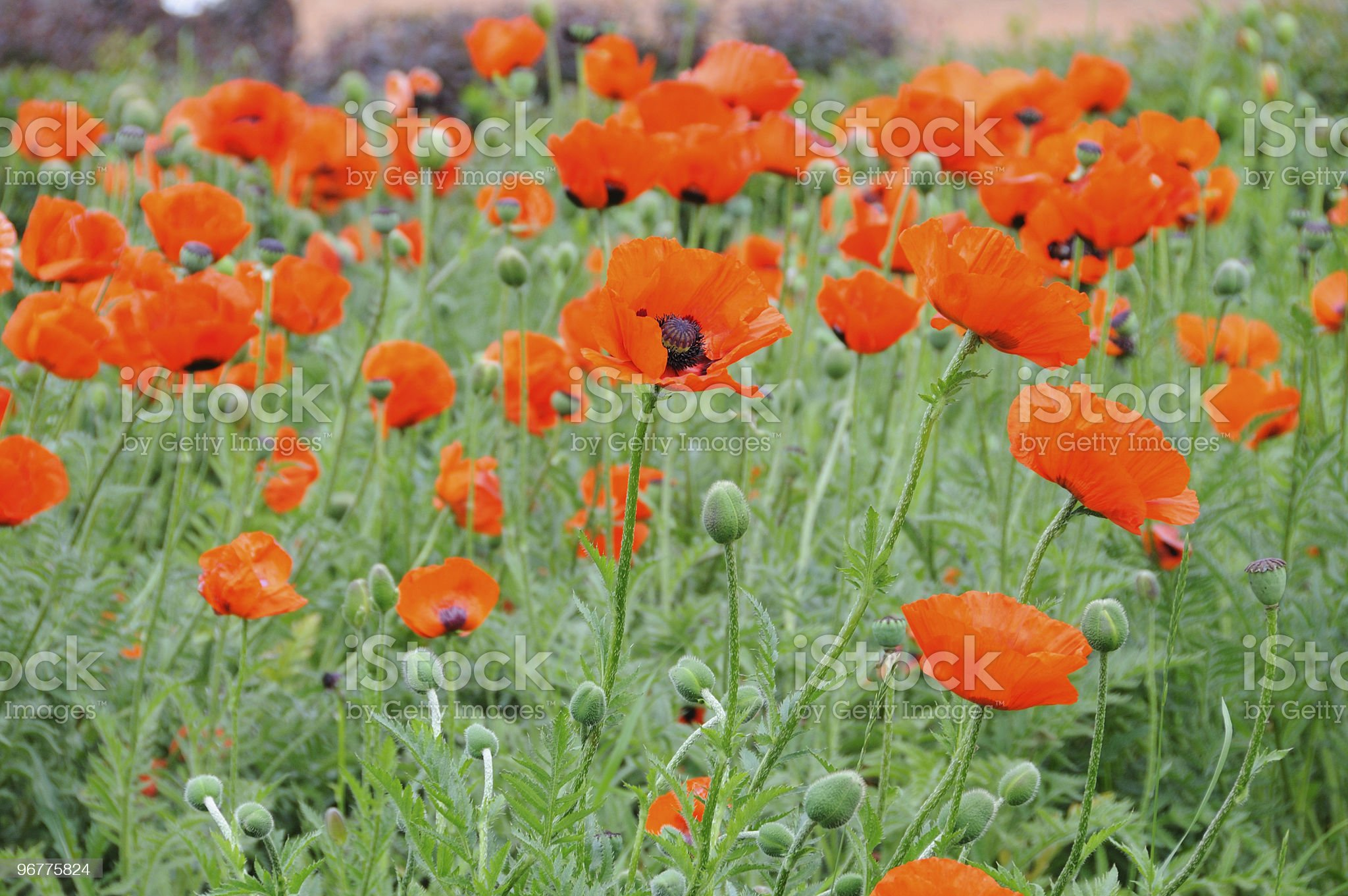 Blooming Red Poppies Field royalty-free stock photo