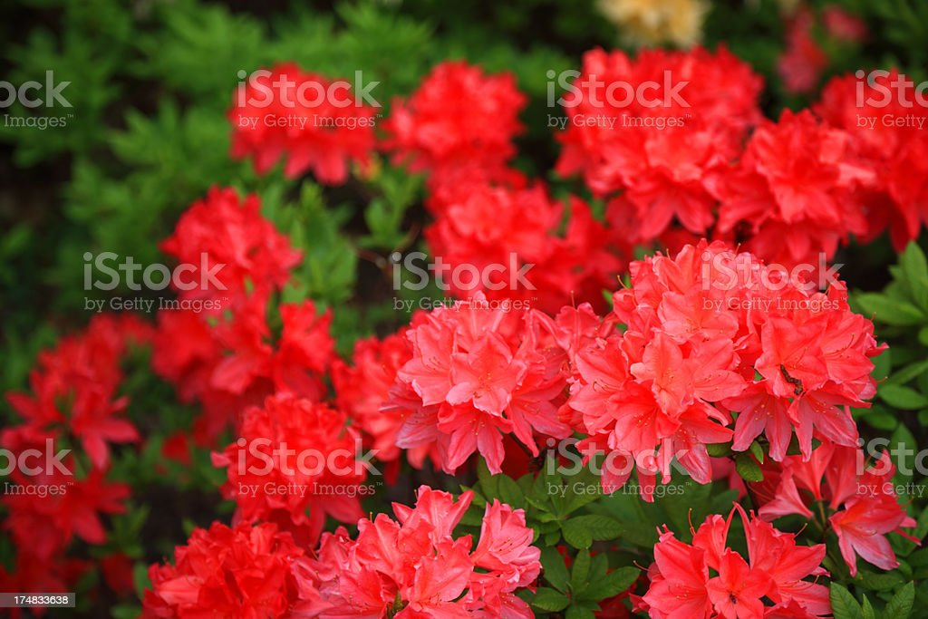 Blooming  Red Rhododendron royalty-free stock photo