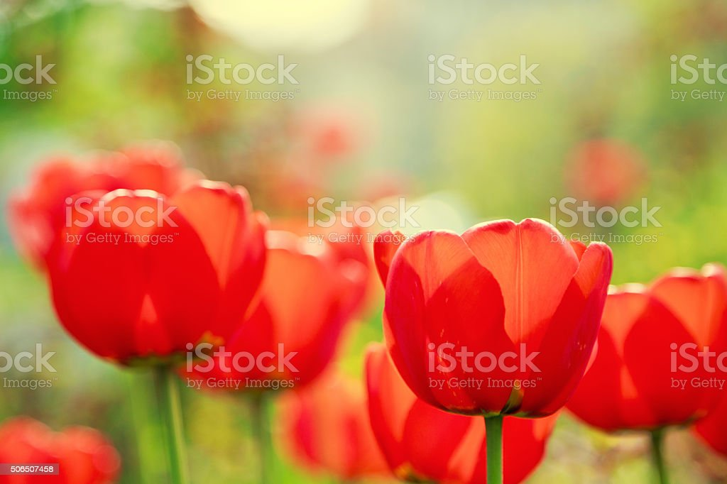 Blooming red tulips in the spring stock photo