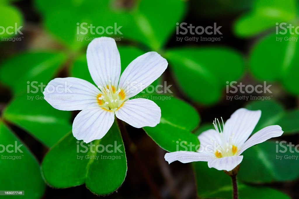 Blooming Redwood Sorrel (Oxalis Oregana) stock photo