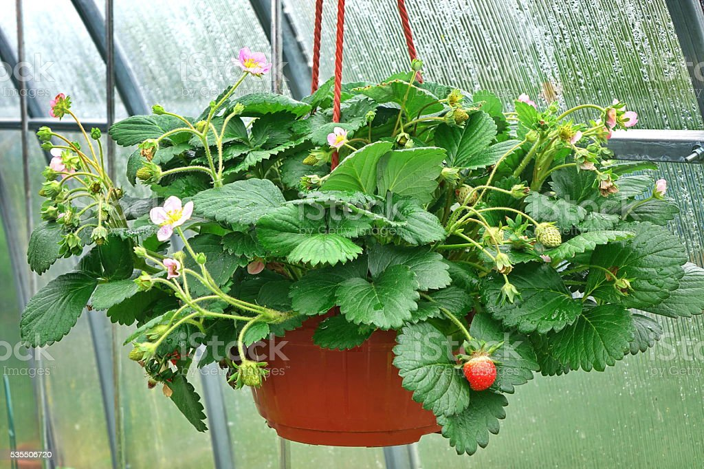 Blooming Remontant Strawberries  In Hanging Basket stock photo