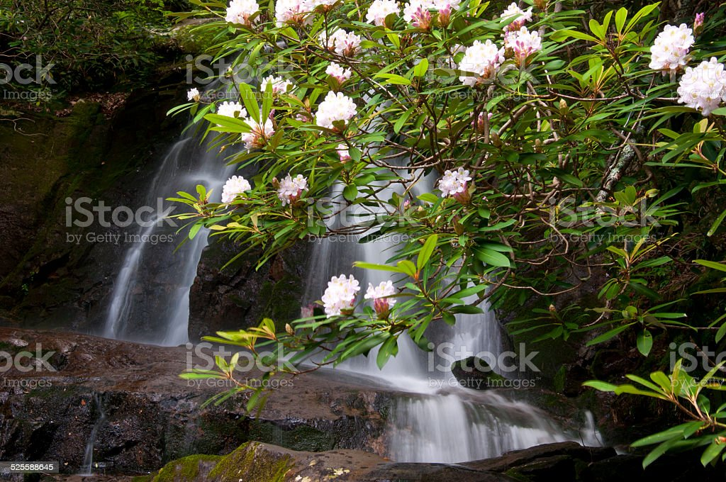 Blooming rhododendron surround Laurel Falls. stock photo
