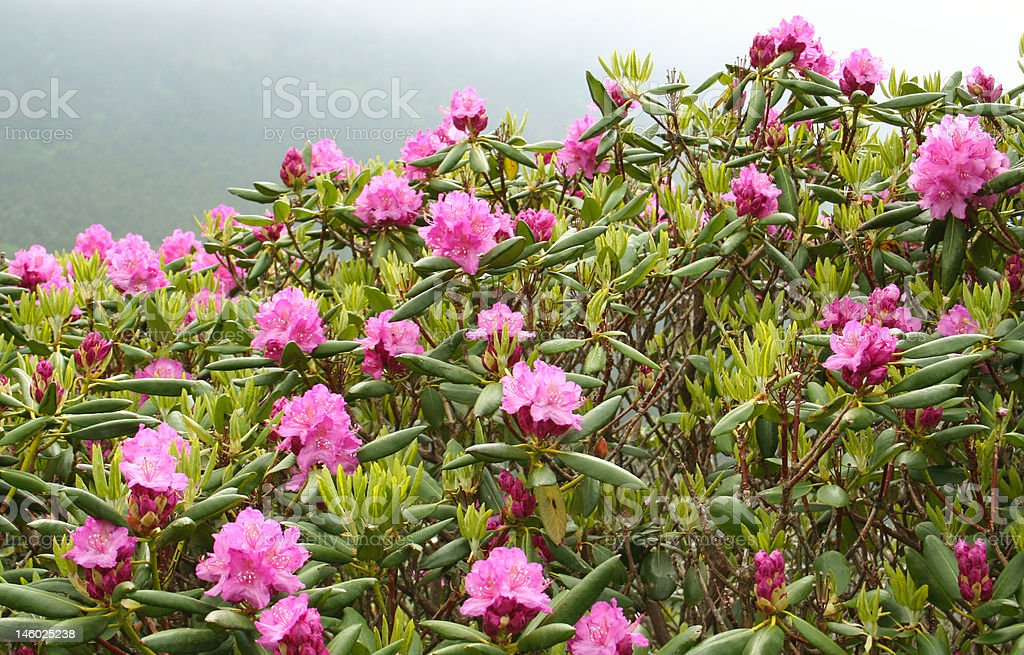 Blooming rhododendrons, misty morning royalty-free stock photo