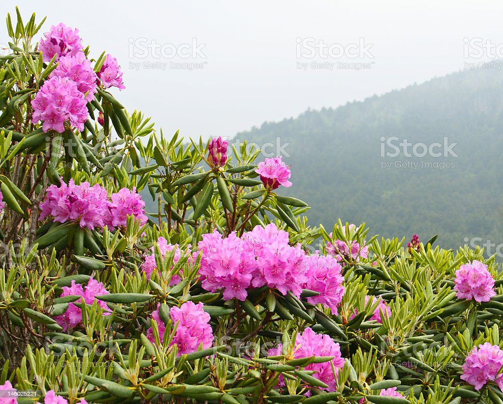 Blooming rhododendrons, misty mountain royalty-free stock photo
