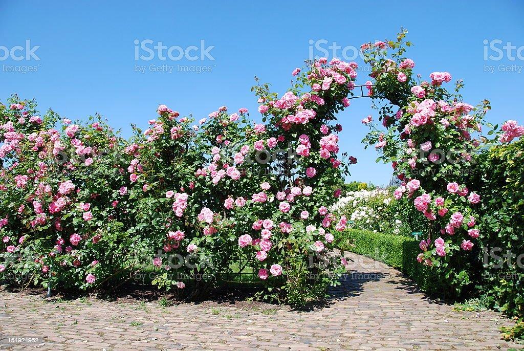 Blooming Rose Garden stock photo