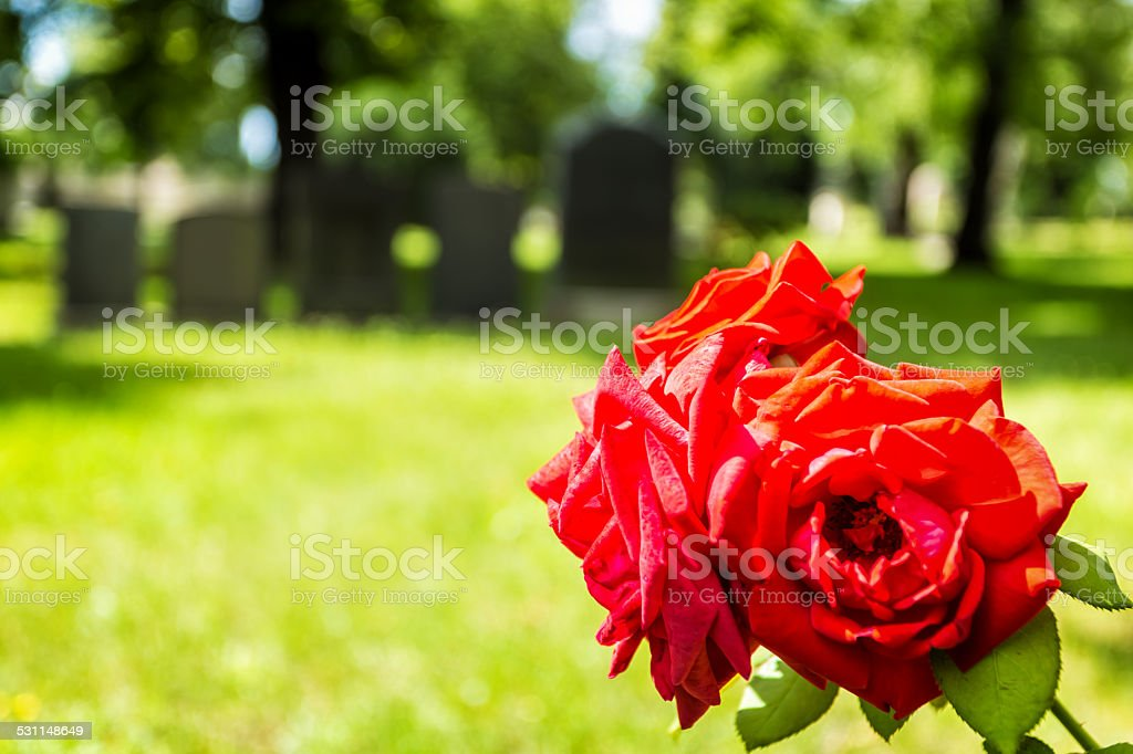 Blooming Rose on a cemetery stock photo