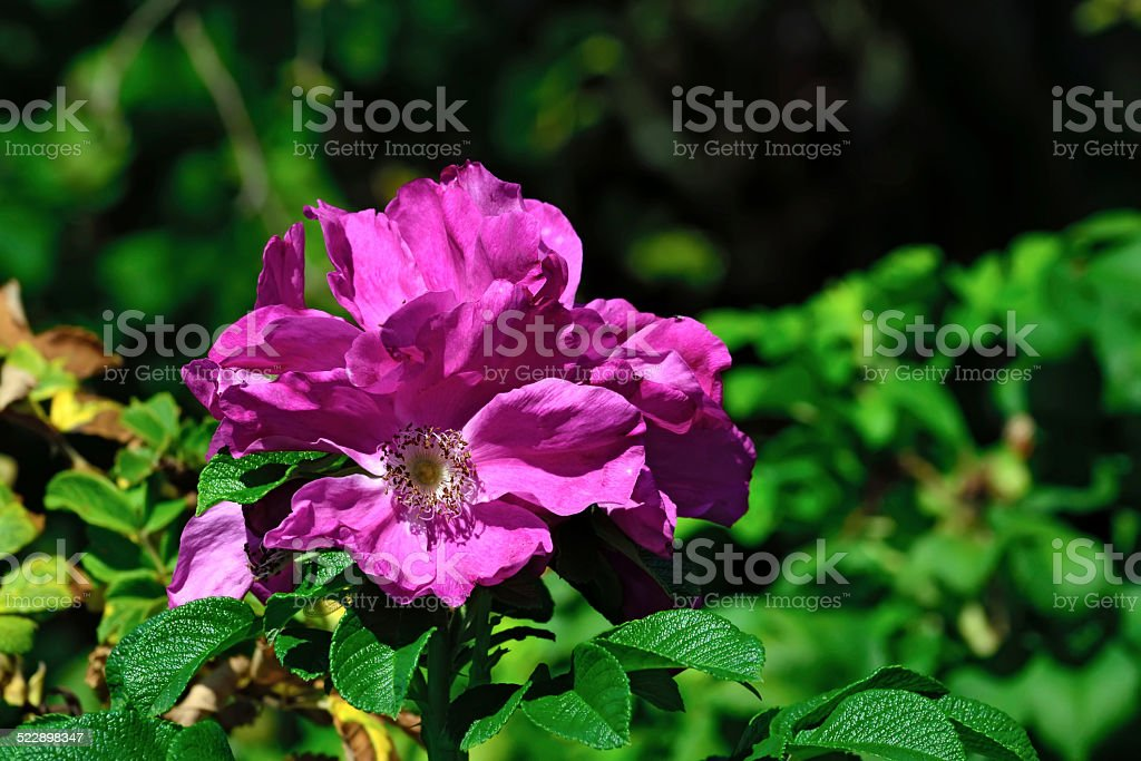Blooming rosehip closeup stock photo