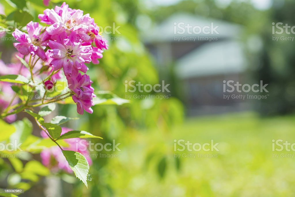 Blooming roses royalty-free stock photo