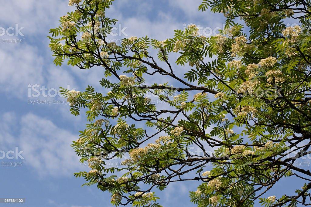 Blooming Rowan Tree stock photo