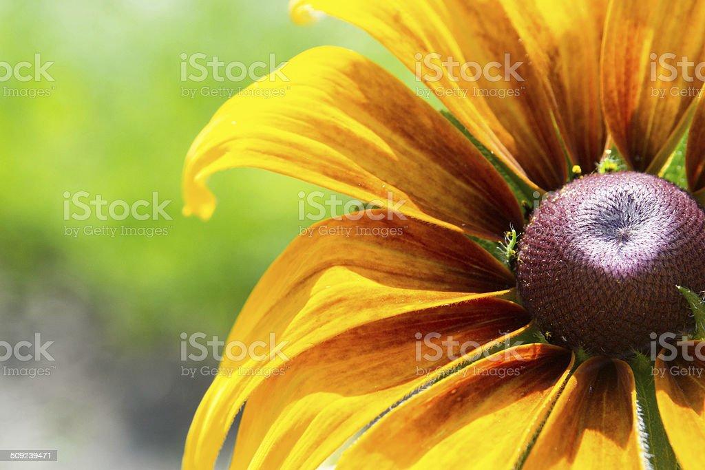 Blooming Rudbeckia  Black-eyed Susan flower stock photo