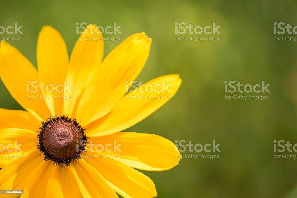 Blooming Rudbeckia (Black-eyed Susan flower) stock photo