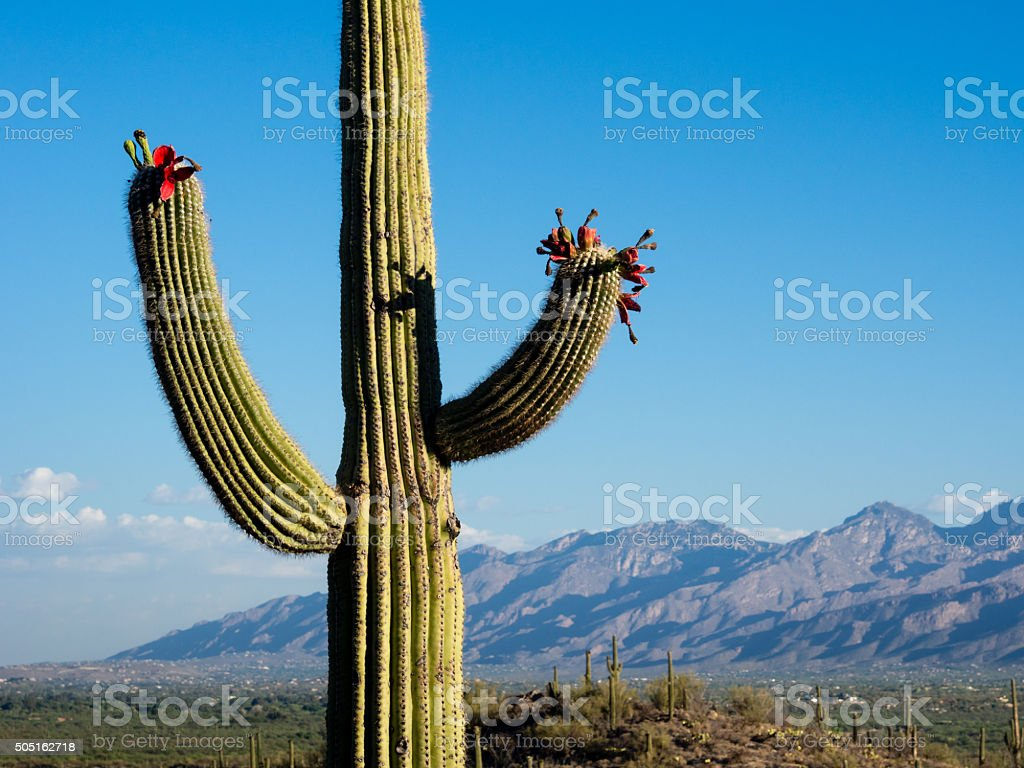 Blooming saguaro cactus at sunrise stock photo