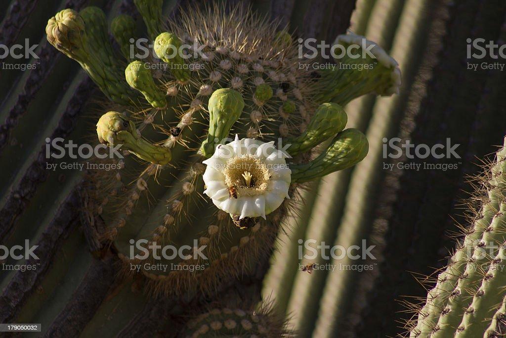Blooming Saguaro royalty-free stock photo