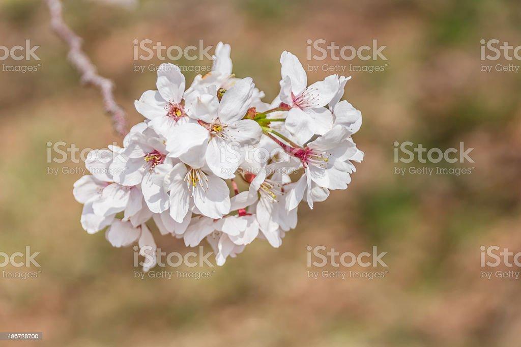 Blühende sakura blossom Lizenzfreies stock-foto