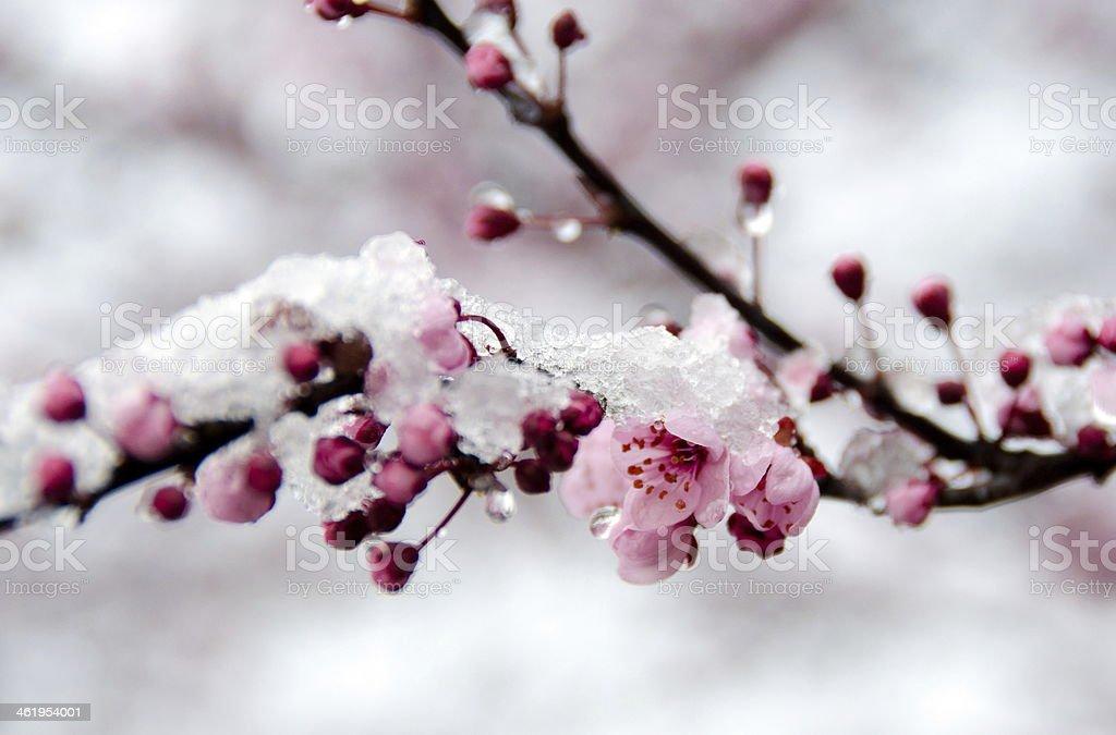 Blooming sakura branch under snow - 3 stock photo