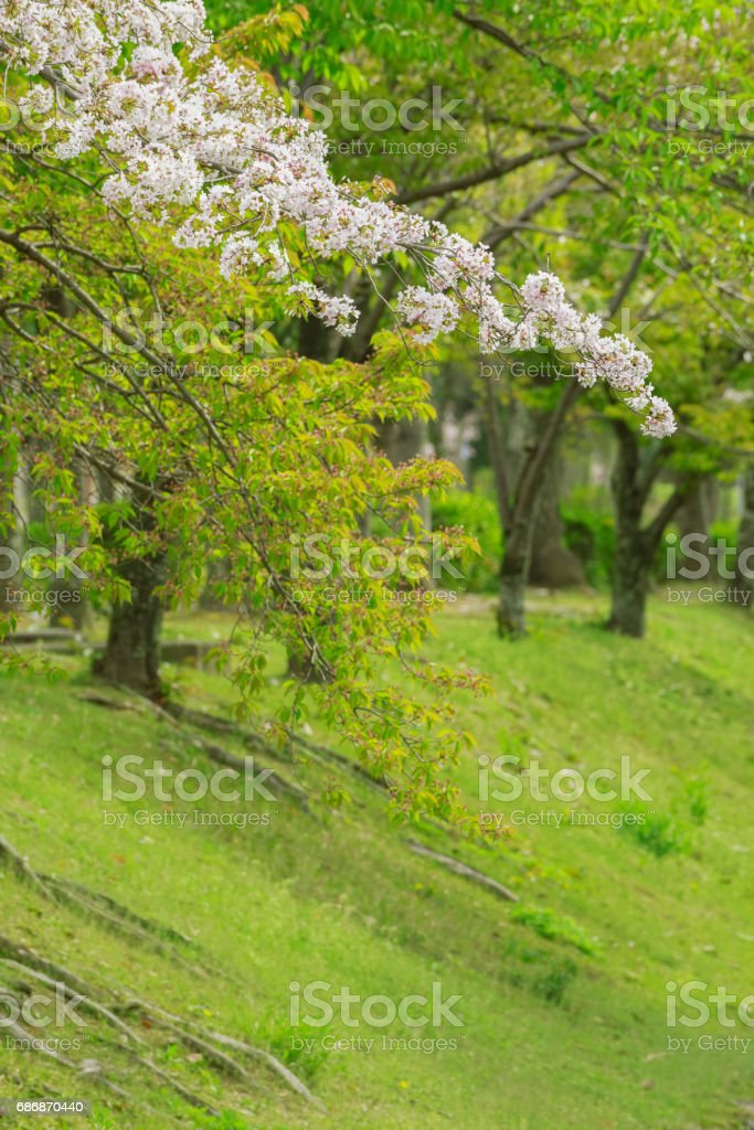 Blooming sakura flower stock photo