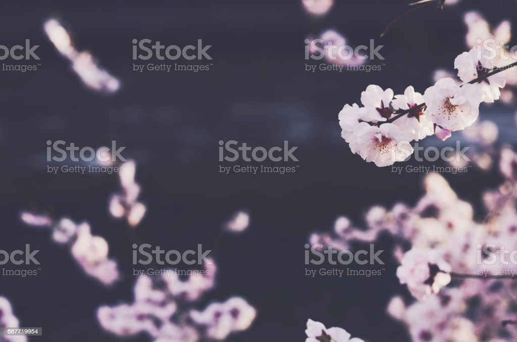 Blooming sakura flowers with copy space on dark background stock photo