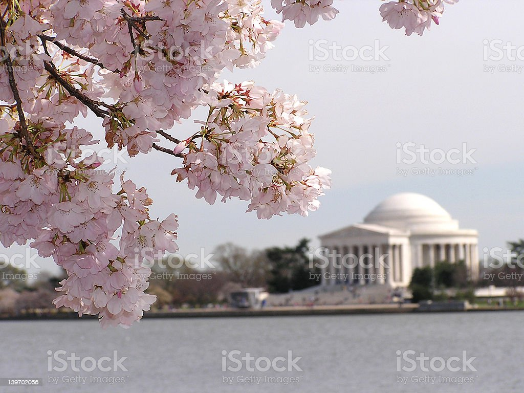 Blooming sakura royalty-free stock photo