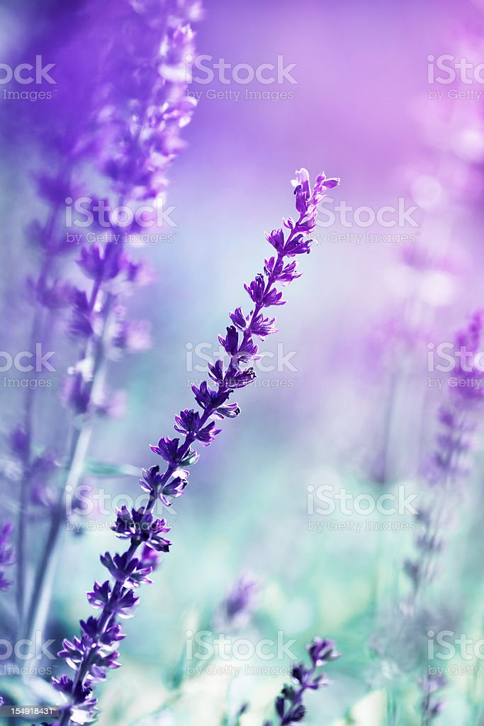 Blooming Salvia leucantha royalty-free stock photo