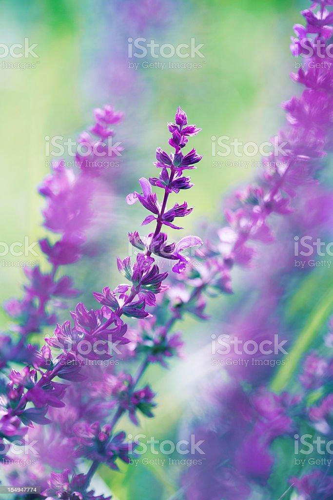 Blooming Salvia leucantha stock photo