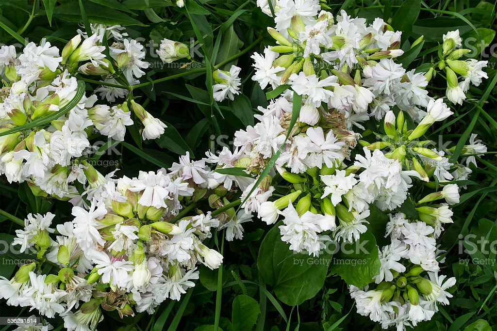 Blooming Saponaria officinalis (soap grass) stock photo