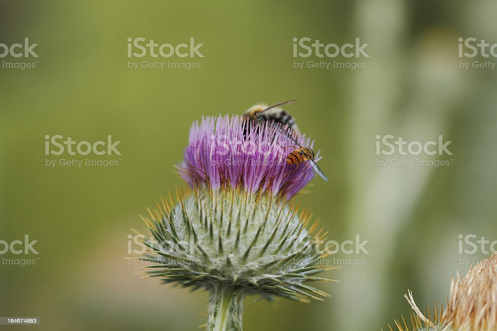 Blooming silver thistle stock photo