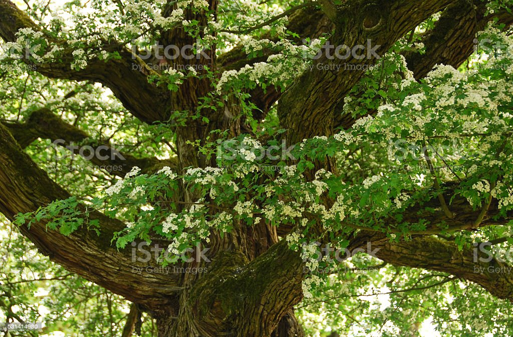 Blooming Single seeded hawthorn stock photo