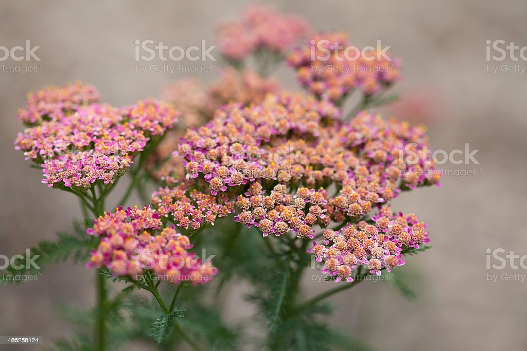 Blooming small pink flowers. stock photo