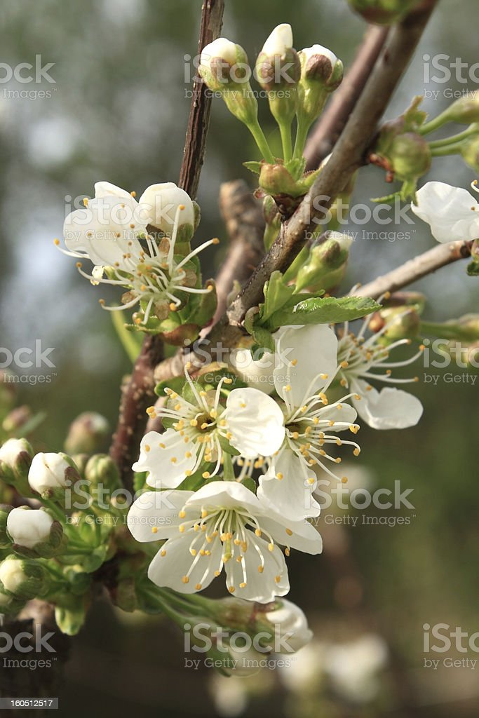 Blooming sour cherry tree royalty-free stock photo