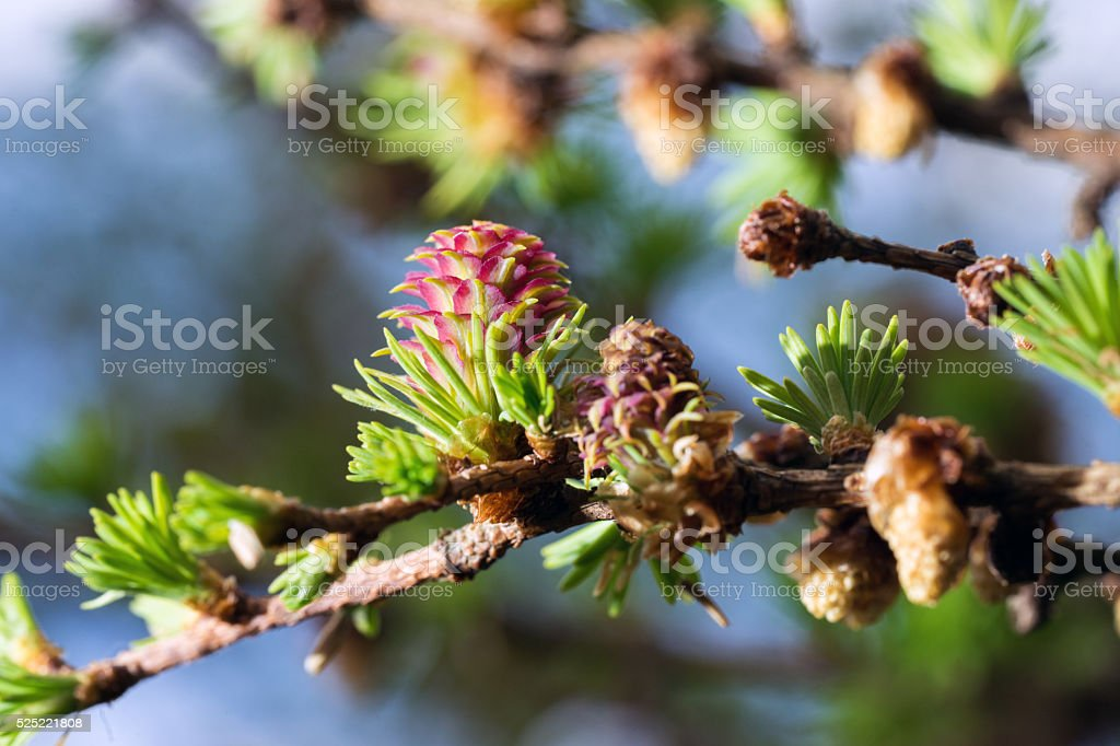 Blooming spring branch of a larch closeup stock photo