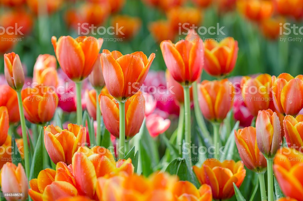 Blooming spring flowers tulips in the garden stock photo