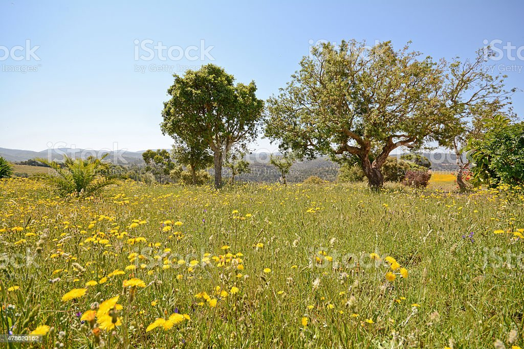 Blooming spring meadow with grasses, wildflowers and cork oak stock photo