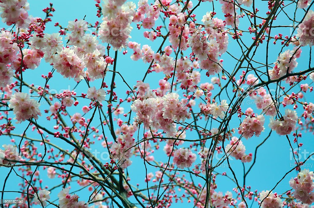 Blooming spring tree branch stock photo