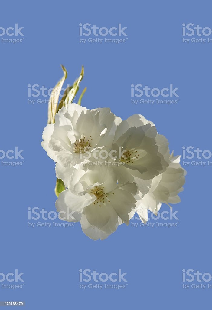 Blooming spring tree royalty-free stock photo