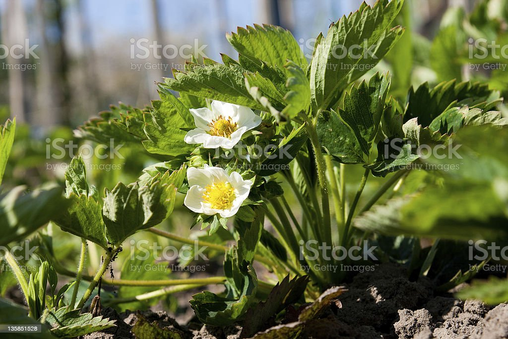 Blooming strawberries royalty-free stock photo