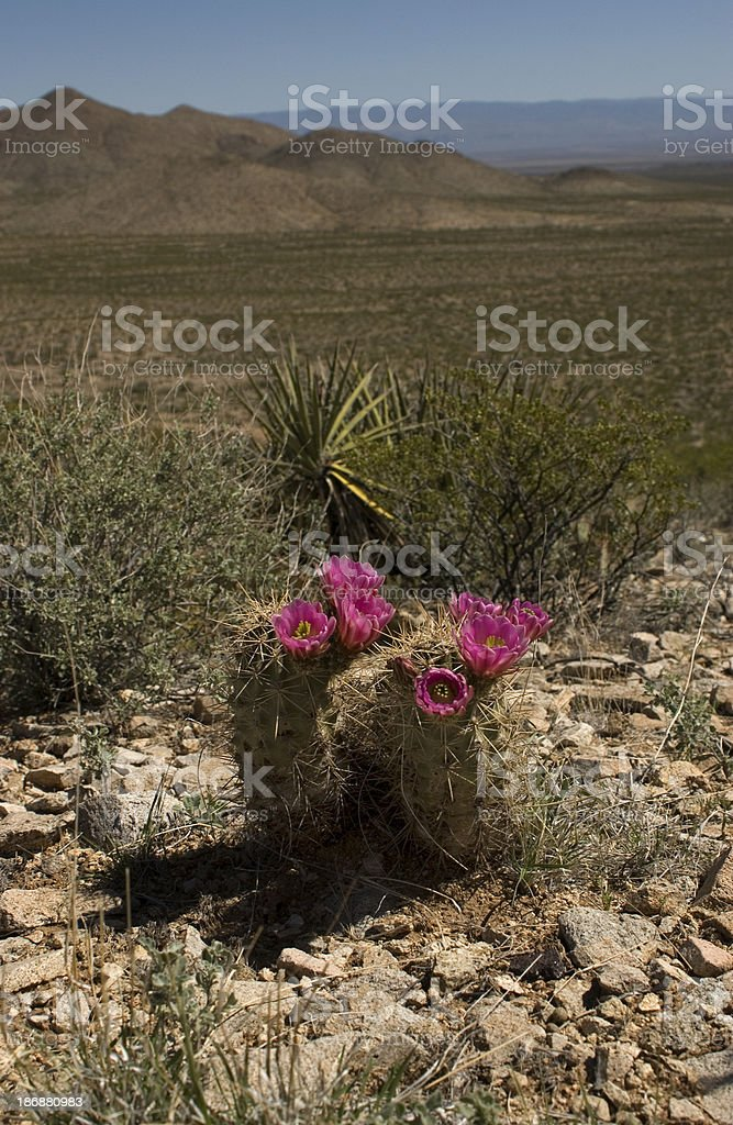 Blooming Strawberry Hedgehog Cactus in Desert stock photo
