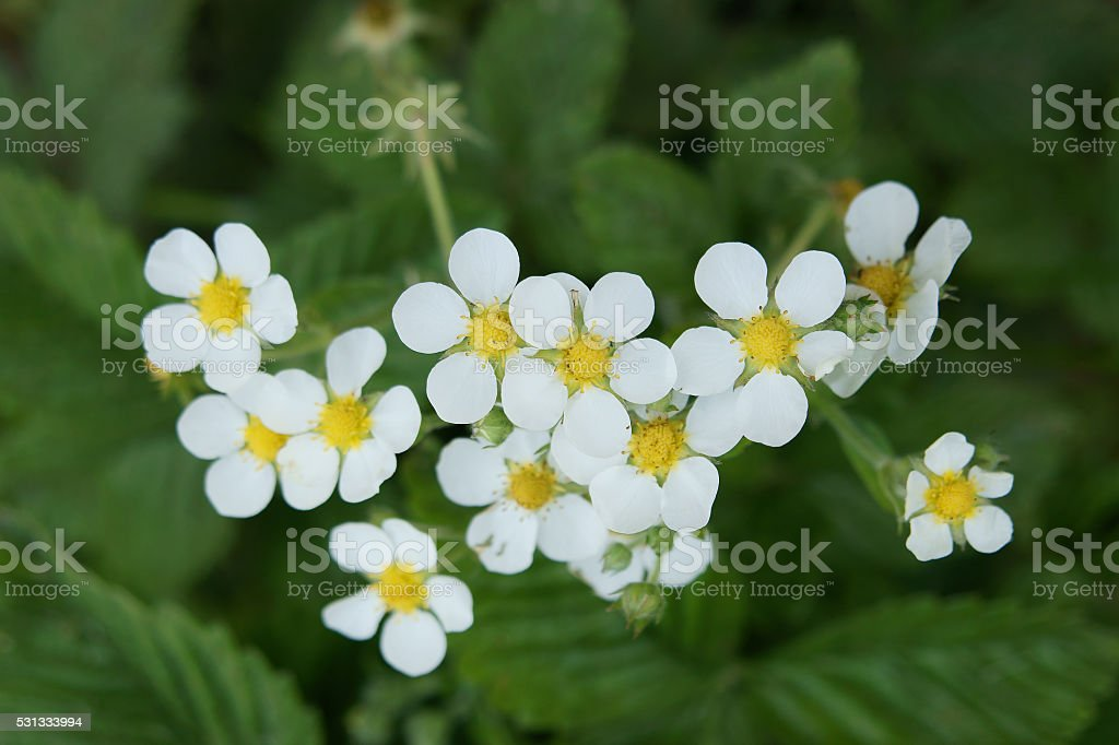 Blooming strawberry stock photo