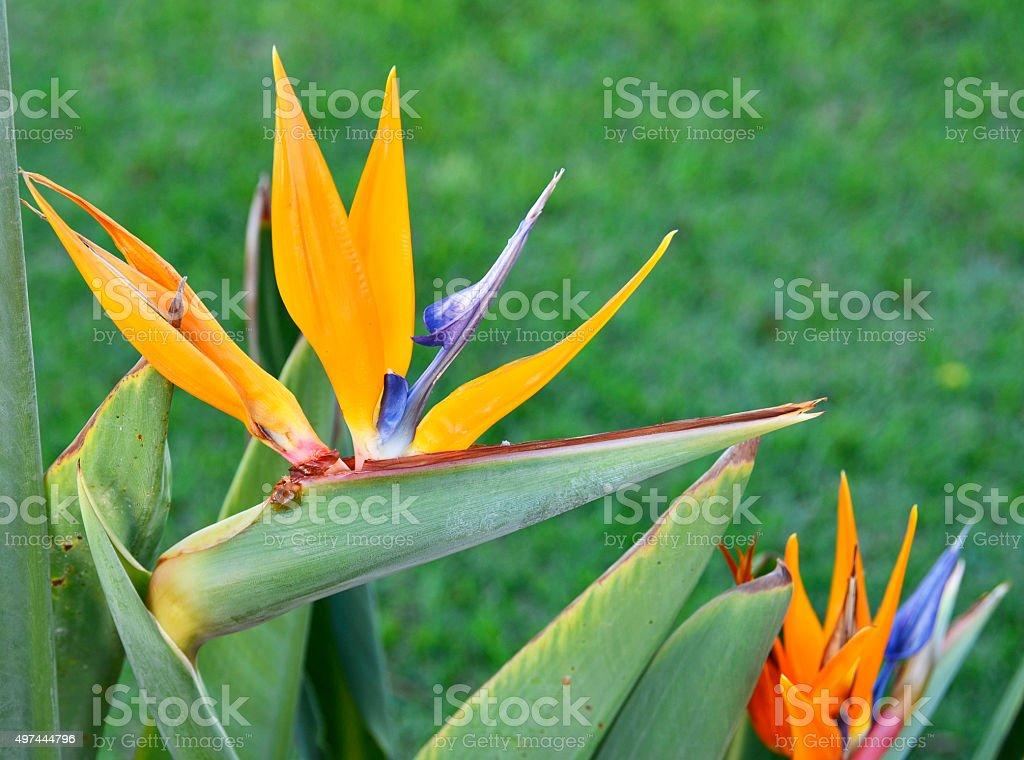 Blooming Strelitzia plant. stock photo
