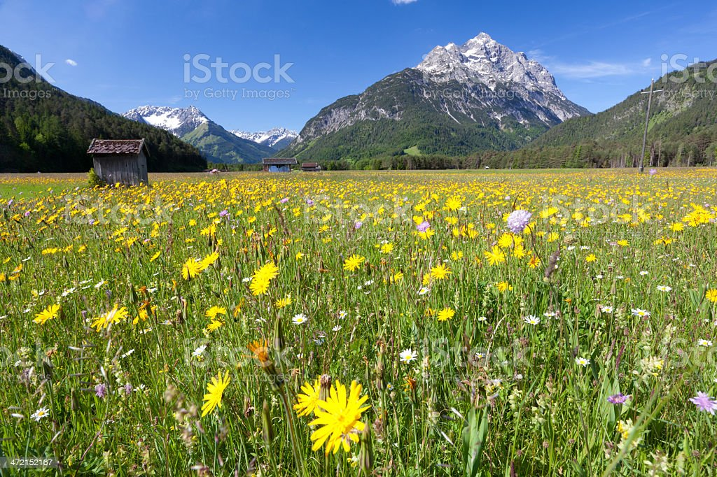 blooming summer meadow, mt. klimmspitze, tirol, austria stock photo